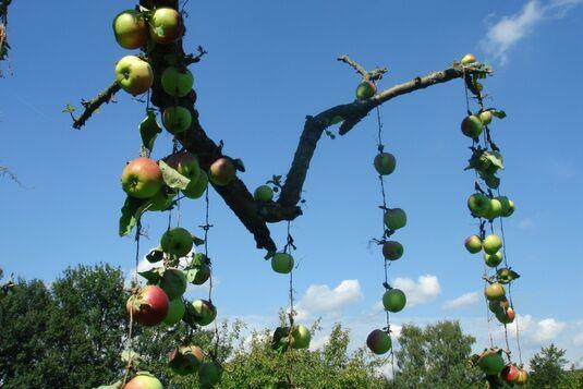 Streuobst - Äpfel richtig ernten und verarbeiten